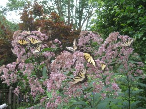 Image of swallowtails on Joe Pye weed