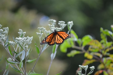 Monarch on late-flowering boneset