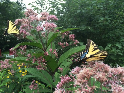 Why plant invasive butterfly bush when you can feed both adult butterflies and the caterpillars of dozens of species with plants like this joe-pye weed?