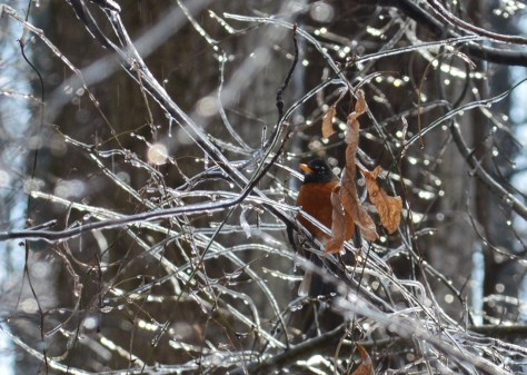 Image of robin in icy tree
