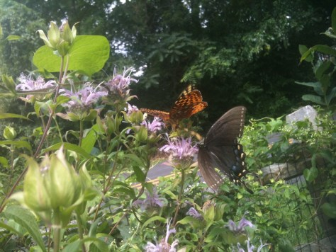 Image of butterflies on wild bergamot