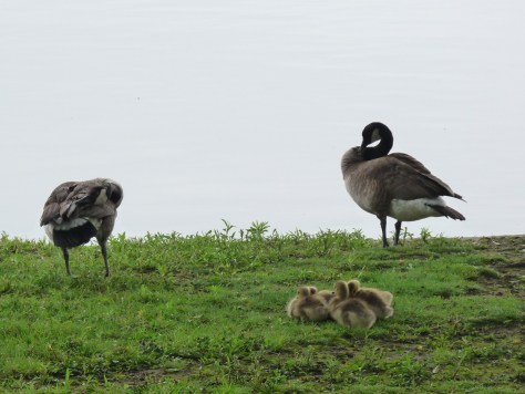 Roundup of Canada Geese