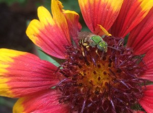 Image of sweat bee on gaillardia