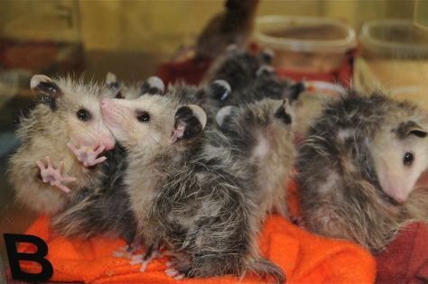 Image of baby opossums
