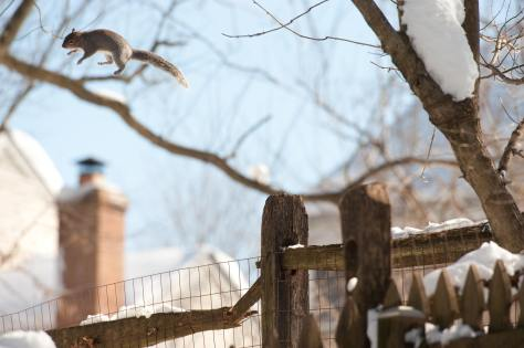 Image of squirrel leaping