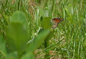 Image of monarch on milkweed