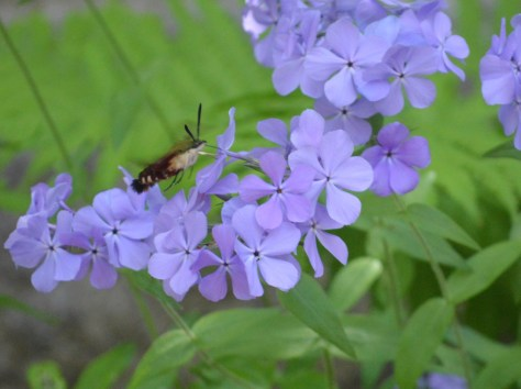Image of hummingbird clearwing moth on phlox