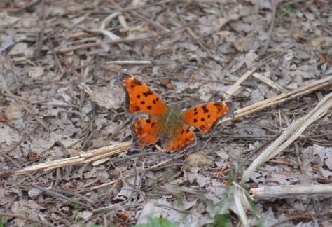Image of Eastern comma butterfly