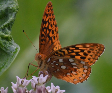 Image of great spangled fritillary on common milkweed