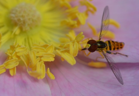 Image of hoverfly on Virginia rose