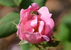 Image of sweat bee on Knockout rose
