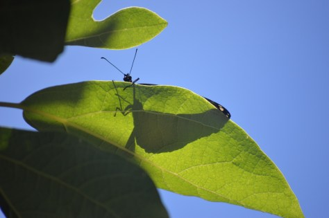 Image of monarch on sassafras leaf