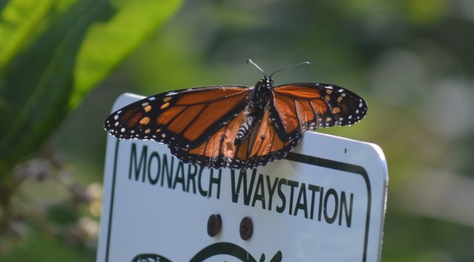 The Monarch-y's in Town!
