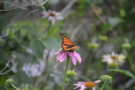image of monarch on echinacea