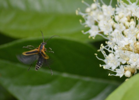Image of margined leatherwing/margined soldier beetle