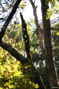Image of oak snag