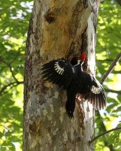 Image of pileated woodpecker