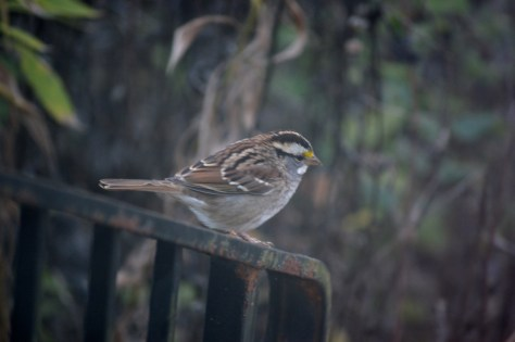 Image of white throated sparrow