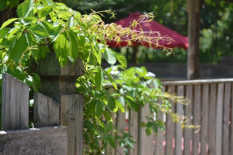 Image of Virginia creeper on gate fence