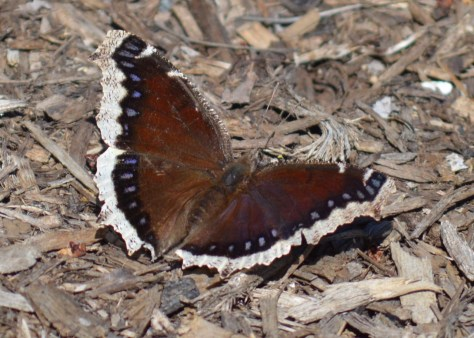 Image of mourning cloak on bark