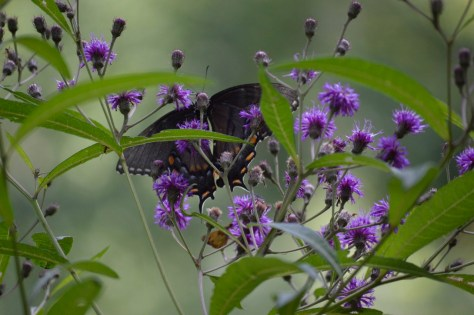 Image of swallowtail on ironweed