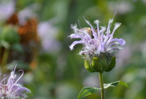 Image of silver-spotted skipper on wild bergamot