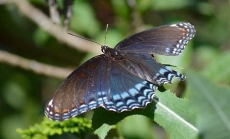 Image of red spotted purple
