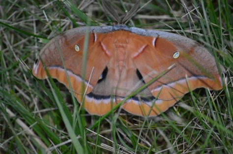 Image of giant silk moth