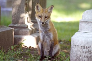 Image of red fox at Mount Auburn Cemetery