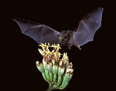 Image of Mexican long-tongued bat