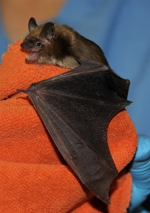 Image of bat at the Cape Wildlife Center
