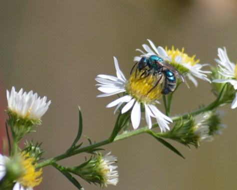 Image of green sweat bee