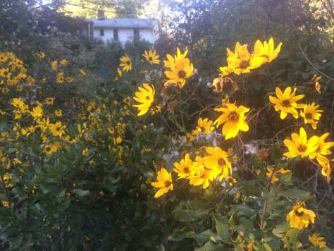 Image of swamp sunflower garden