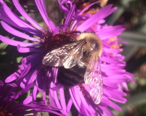 Image of bumblebee on New England aster