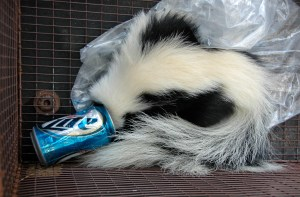 Image of skunk trapped in can