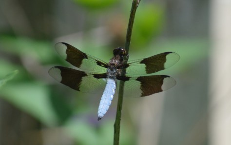 Image of common whitetail skimmer