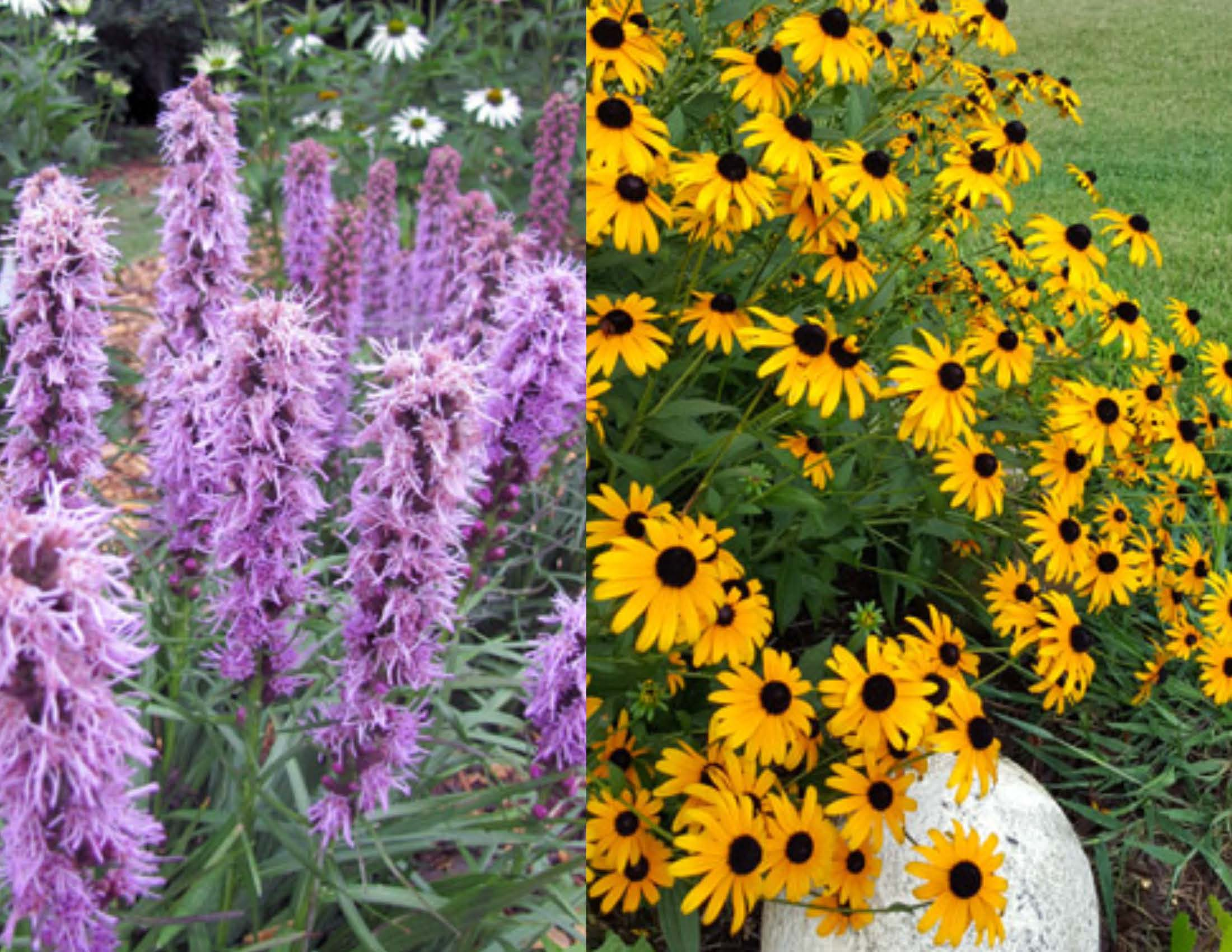 Liatris and Black-eyed Susans_Paige Nugent
