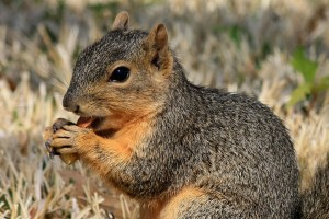 Image of Eastern fox squirrel with acorn