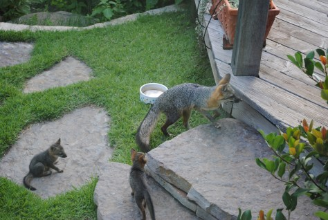 Image of Fox mom and kits_Tait Moring