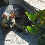 Image of fox in Tait Moring garden