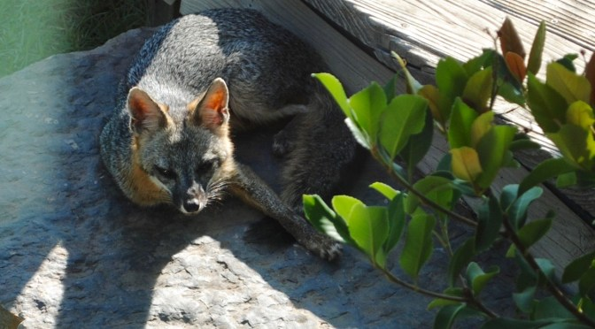 Image of fox in Tait Moring garden