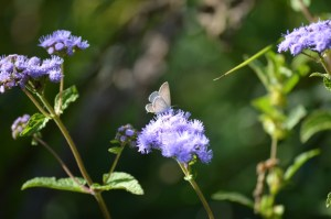 Image of Eastern-tailed blue on blue mistflower