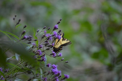 Image of Eastern tiger swallowtail on ironweed