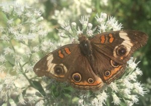Image of Common buckeye on hyssop-leaved thoroughwort