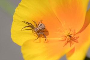 Image of Crab spider on California poppy