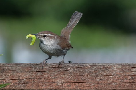 Image of wren with caterpillar