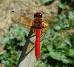 Image of dragonfly_Kelly Brenner