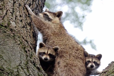 Image of raccoon family in tree