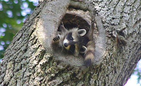 Image of raccoon family by John Harrison