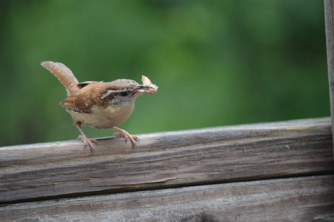 Image of Carolina wren gathering insects